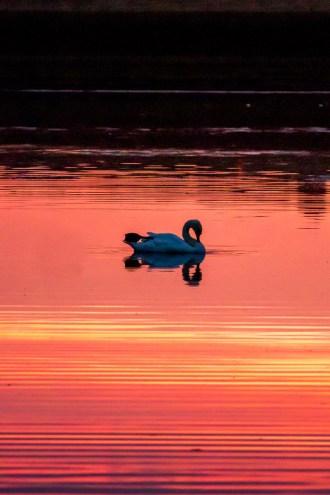 Greenbelt Sunset Swan