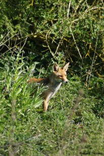20) Mr Fox