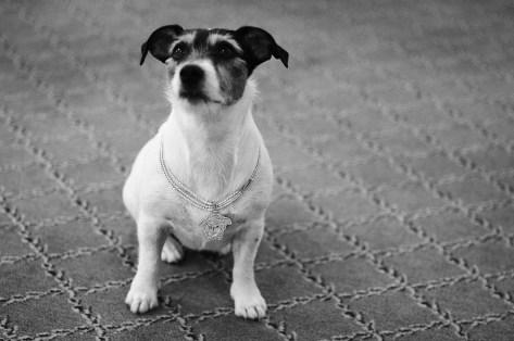 Audrey, Donatella Versace's Jack Russell Terrier photo Rahi Rezvani.
