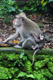 Mother monkey with infant, Monkey Forest, Ubud, Bali