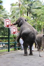 Elephant Dunk, Elephant Safari Park, Bali, Indonesia