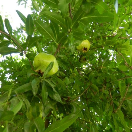 Pomegranate tree, Kabakum, Turkey