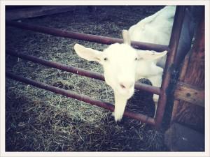Lively Run Goat Farm