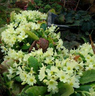 theinfillclicks - garden photography - springtime-crowd of golden primroses