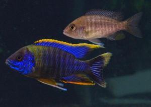 Aulonocara Peacock