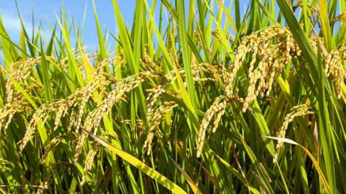 Kogi targets massive production of rice by December