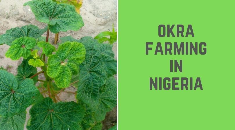 Okra Farming in Nigeria