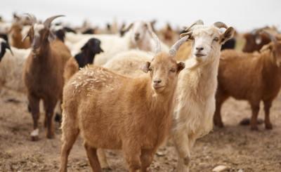Goat Farming in Nigeria