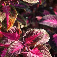 Coleus colour
