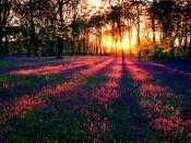 29087-Field-Of-Flowers