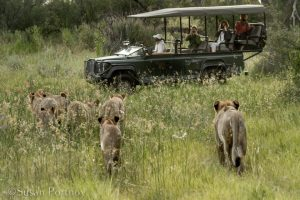 Lions heading toward a woman in a vehicle taking their pictureAfrican Photo Safaris