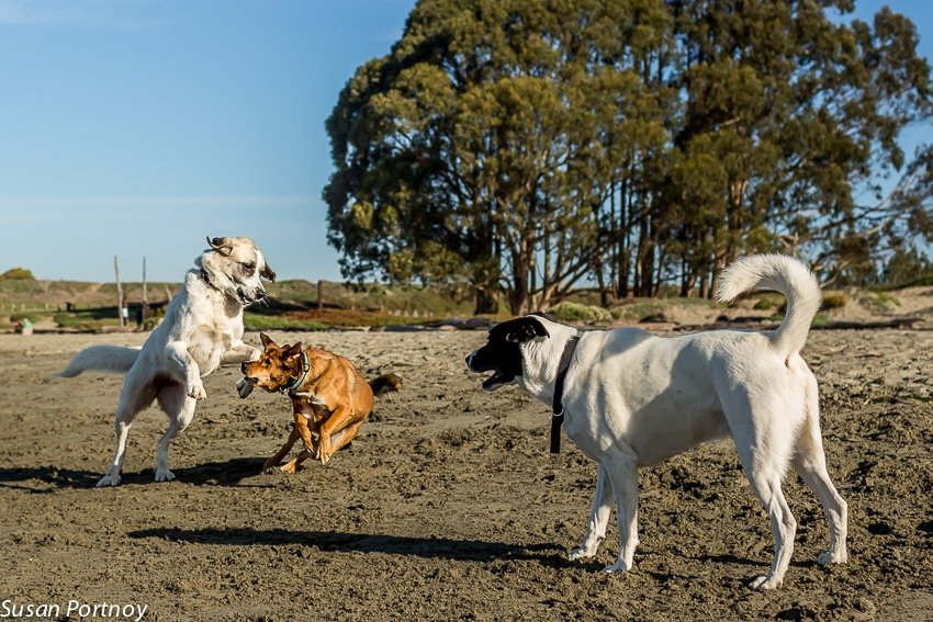 Dogs from different owners romp on the beach