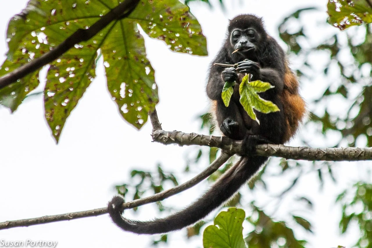 Howler monkey eats a leaf in Costa Rica