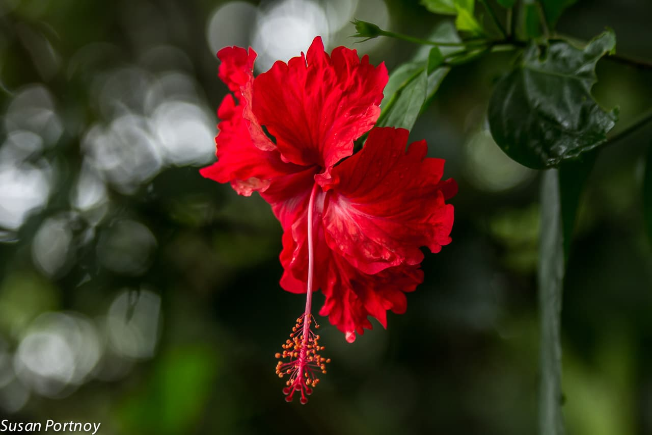 Red Hibiscus in Costa Rica