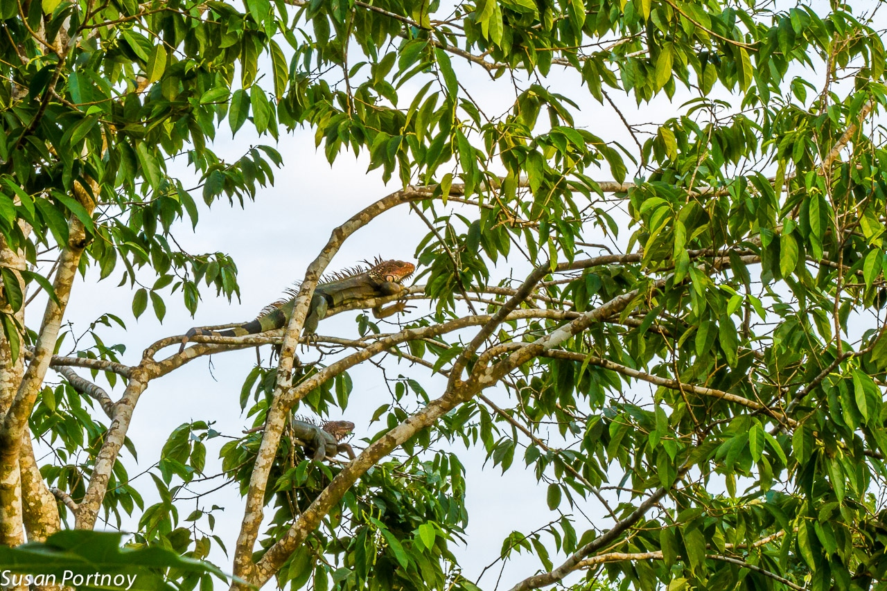 Iguana high up in the trees in Costa Rica