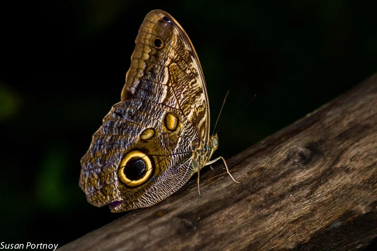 Owl butterfly in Costa Rica