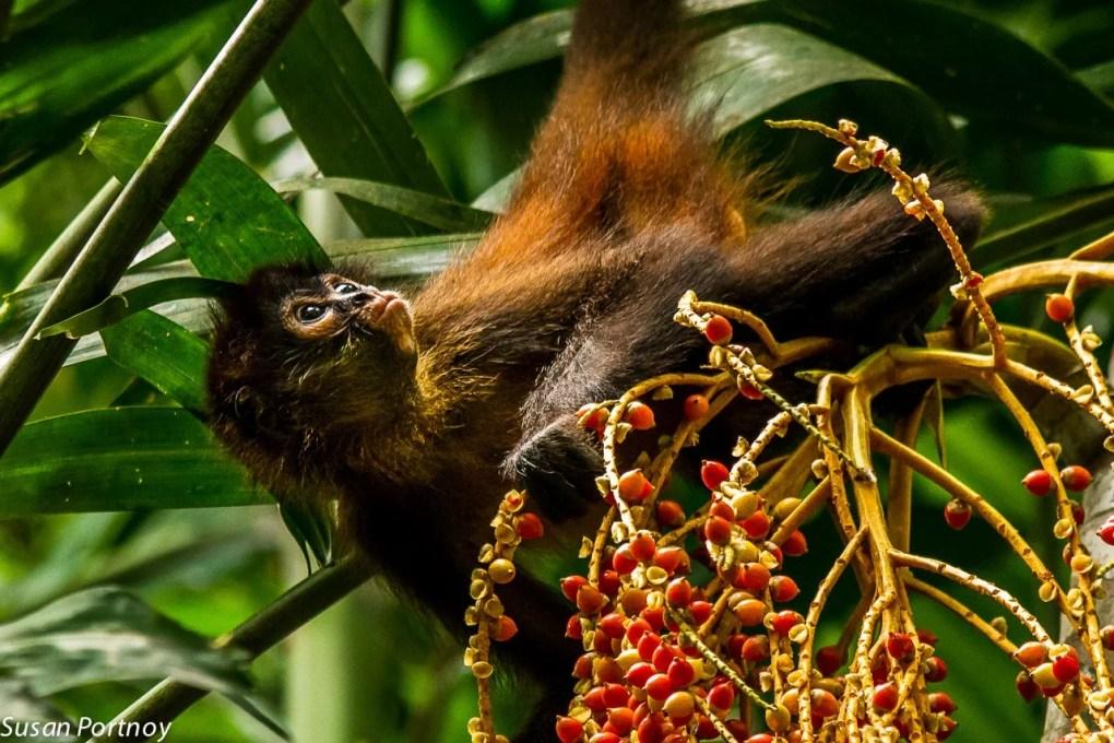 Spider Monkey eats berries in Costa Rica