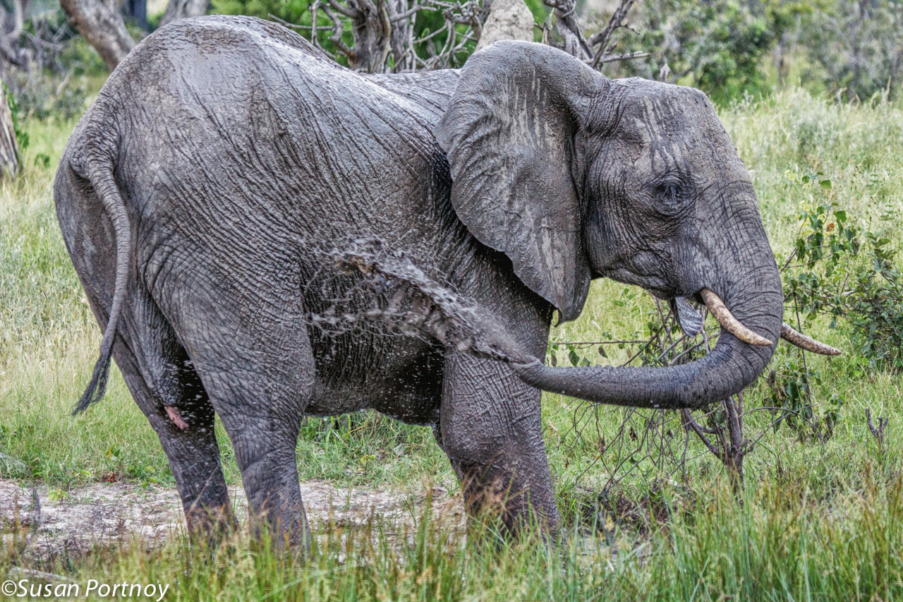 Elephants love to wallow in the mud. This female sprays herself in order to keep her skin cool and protect against biting flies.