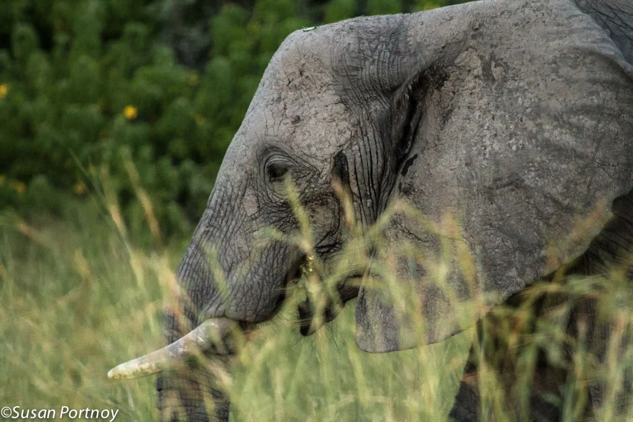 Peeking through the high grass of the Okavango Delta, the regal profile of this young elephant caught my eye.