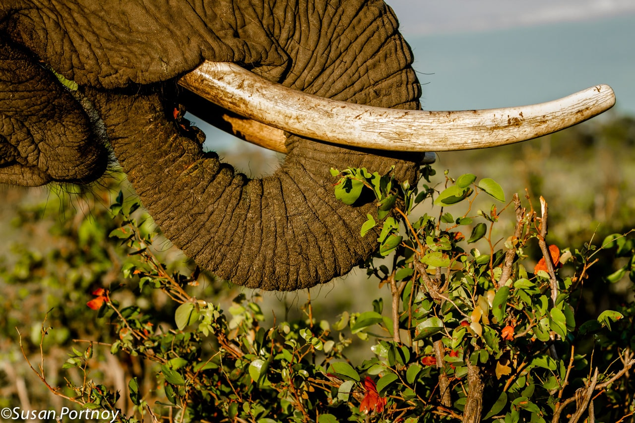 There are over 150,000 muscles in an elephant's trunk