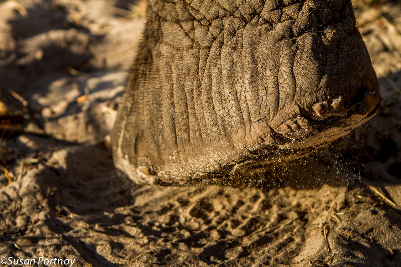 I am so intrigued by elephant feet. They are like big sandbags wrapped in a radial tire.