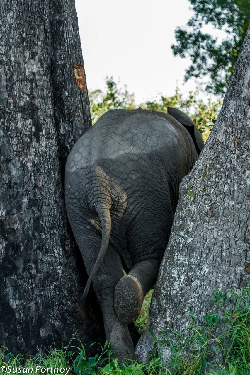 Warona, a baby elephant of the Abu herd, found the perfect place to scratch both sides of her tummy at the same time.