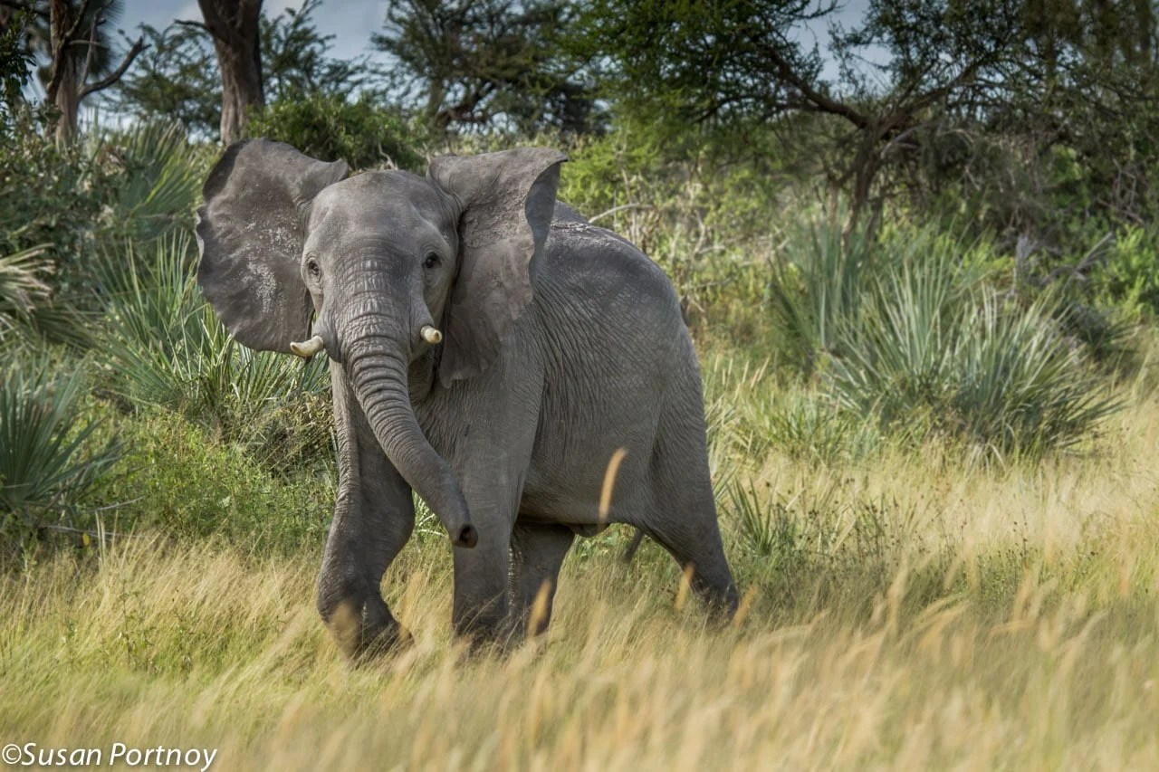 A young bull elephant raises its head, trots and spreads its ears wide in an attempt to scare us off. In the end, he was the one to move on