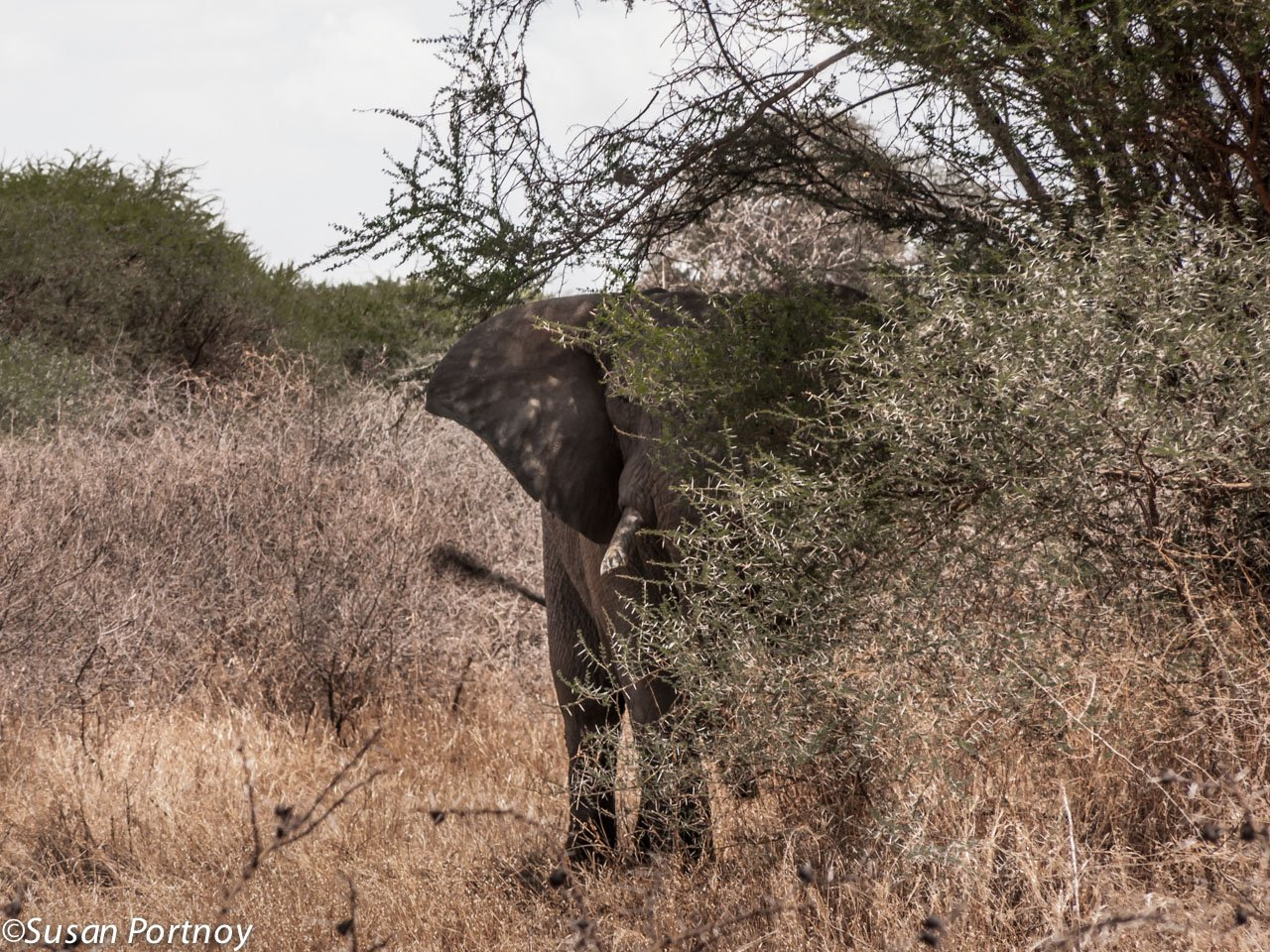 A very unhappy female flails in front of our jeep, angered by wild dogs that were to our left. If you're wondering how close she really was, that vertical line in the picture is the jeep's antennae