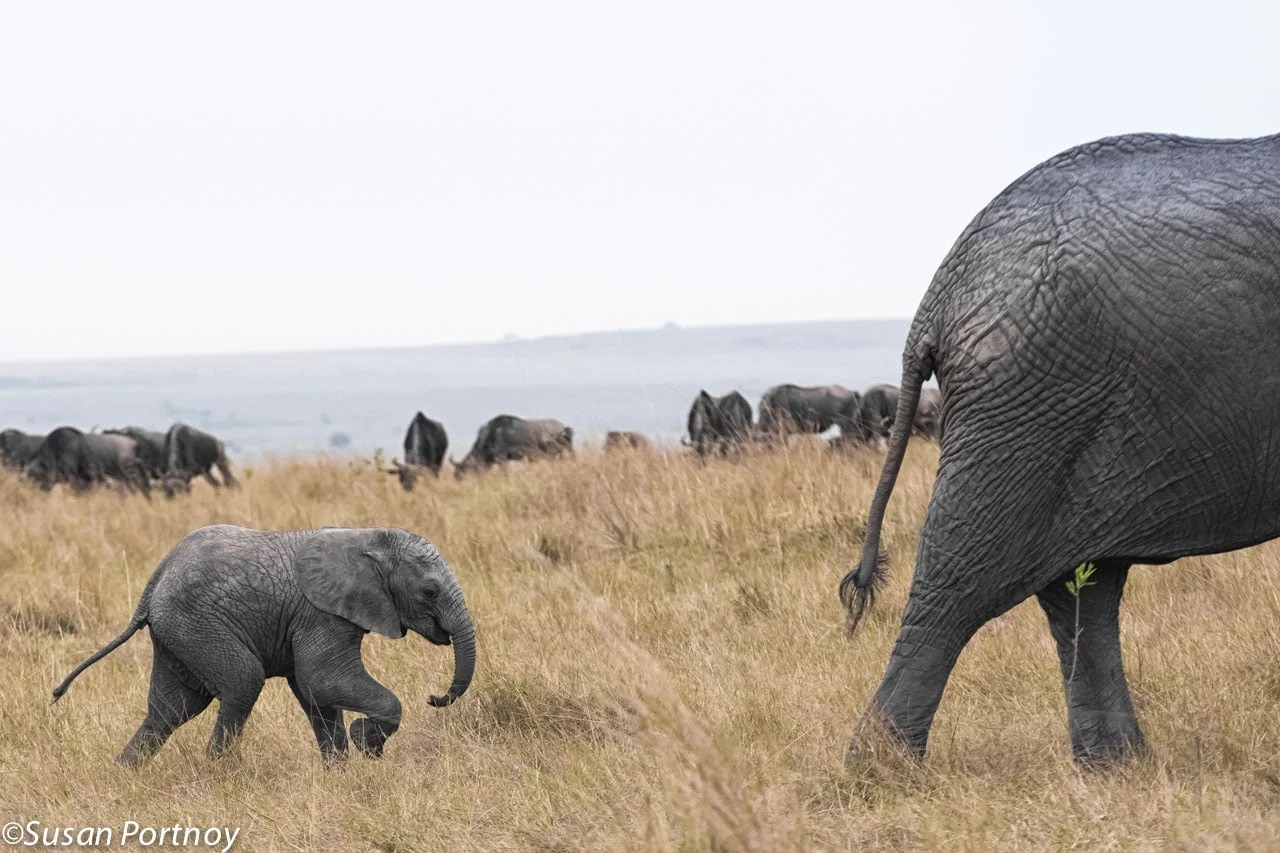 Baby elephant trots after its mother in Kenya.