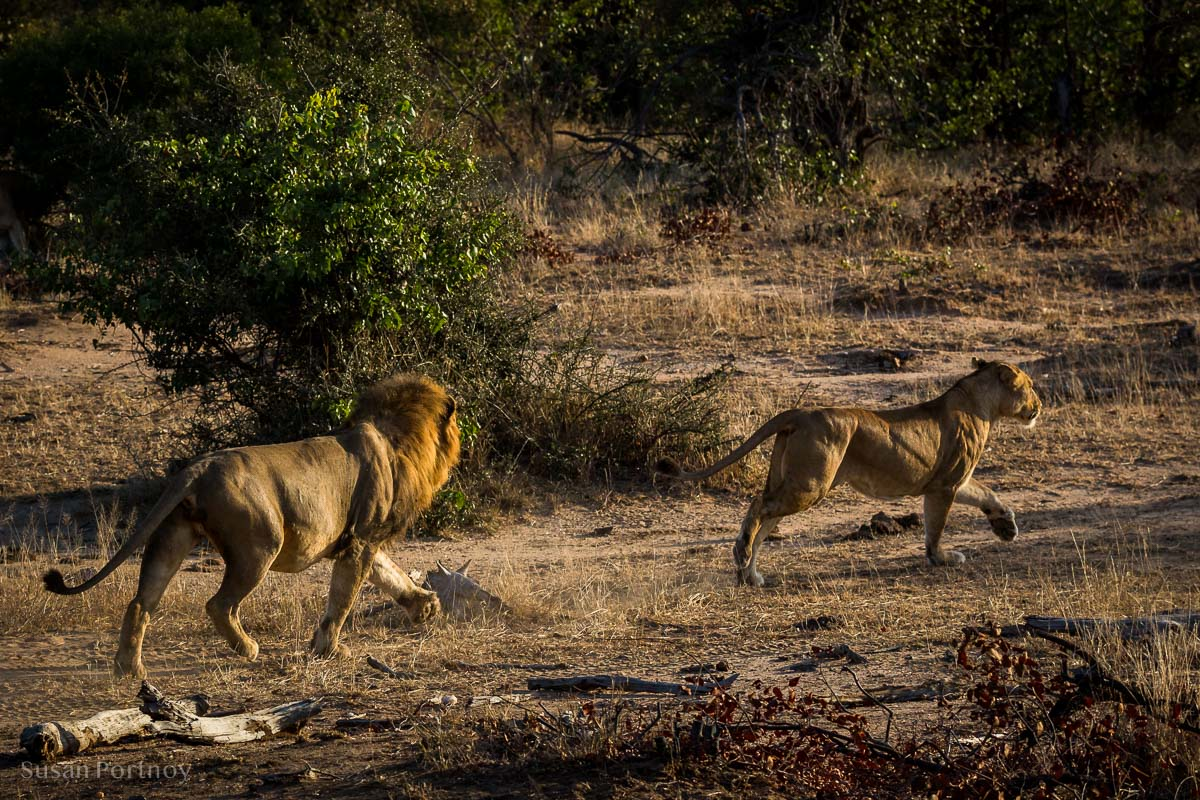 Lion chases a female who is in heat