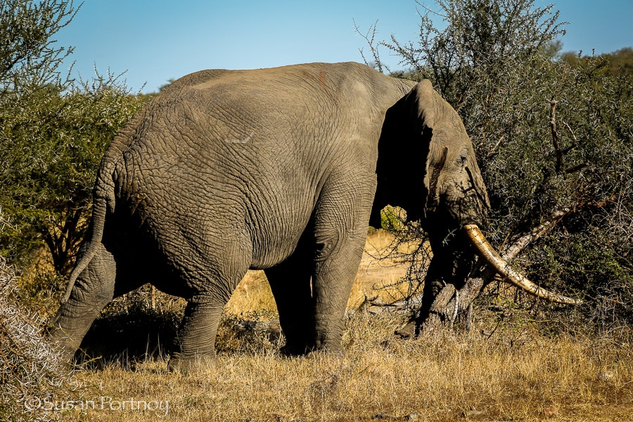 Big elephant in Timbavati, South AFrica