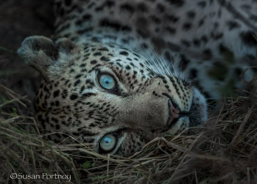 Leopard lying down in Timbavati, South Africa