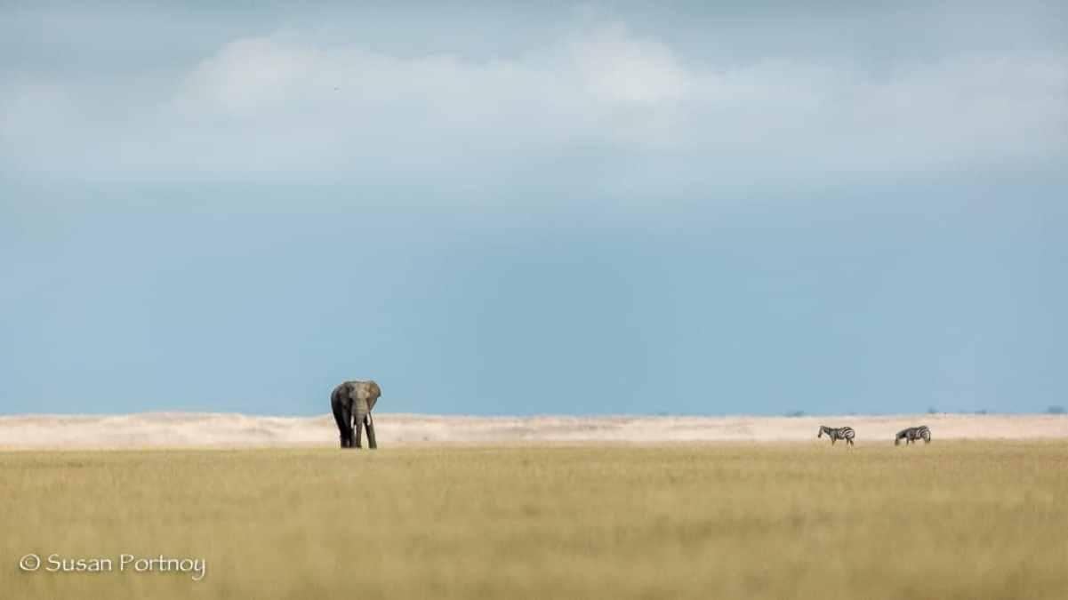 Elephant and two zebral on lake Amboseli