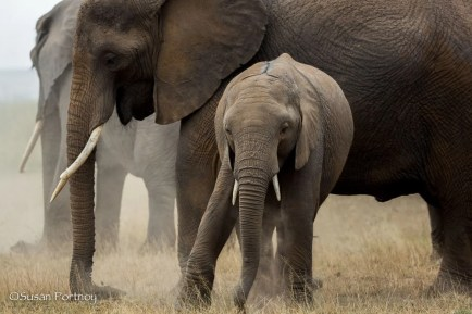 Baby elephant stands in front of adult elephant in amboseli, Kenya