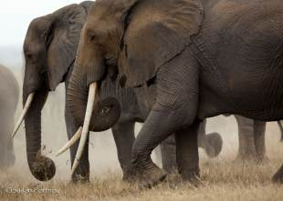 Two elephants walking through Amboseli