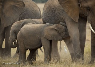 Baby elephant nurses on its mother in Amboseli, Kenya
