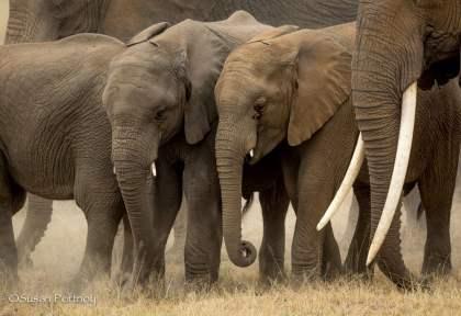 Two baby elephants walk with their herd in Amboseli, Kenya