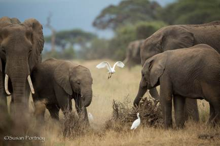 Herd of elephants grazing in Amboseli, Kenya