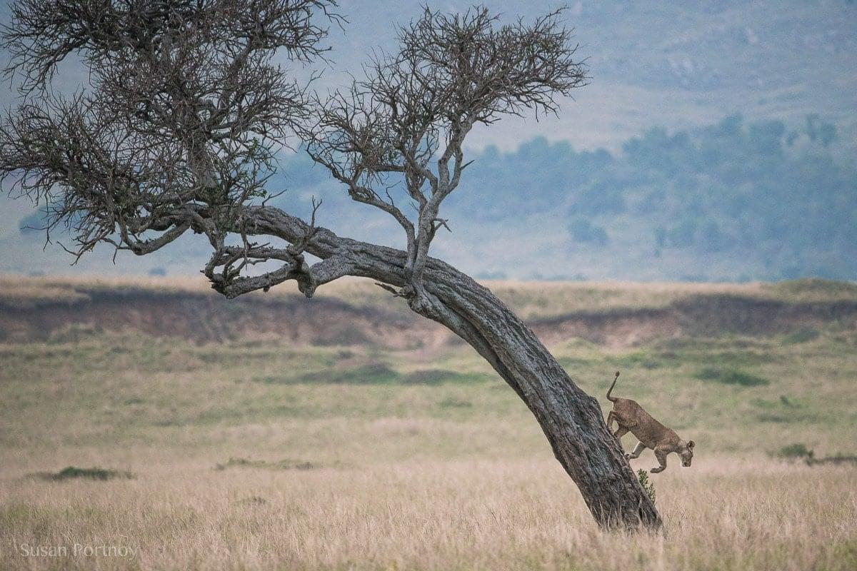 Lion in at tree in the Masai Mara, Kenya, The insatiable Traveler