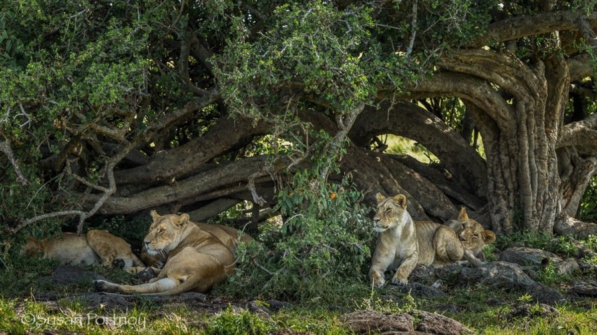 Year old lions in under tree in the Masai Mara, Kenya