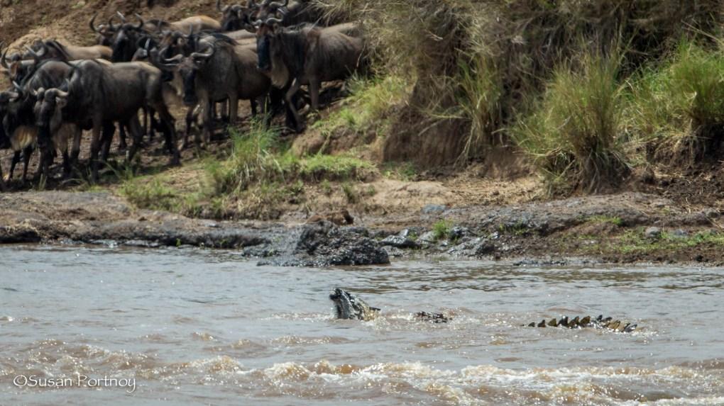 Crocodile pulls wildebeest under the Mara River - Wildlife stories