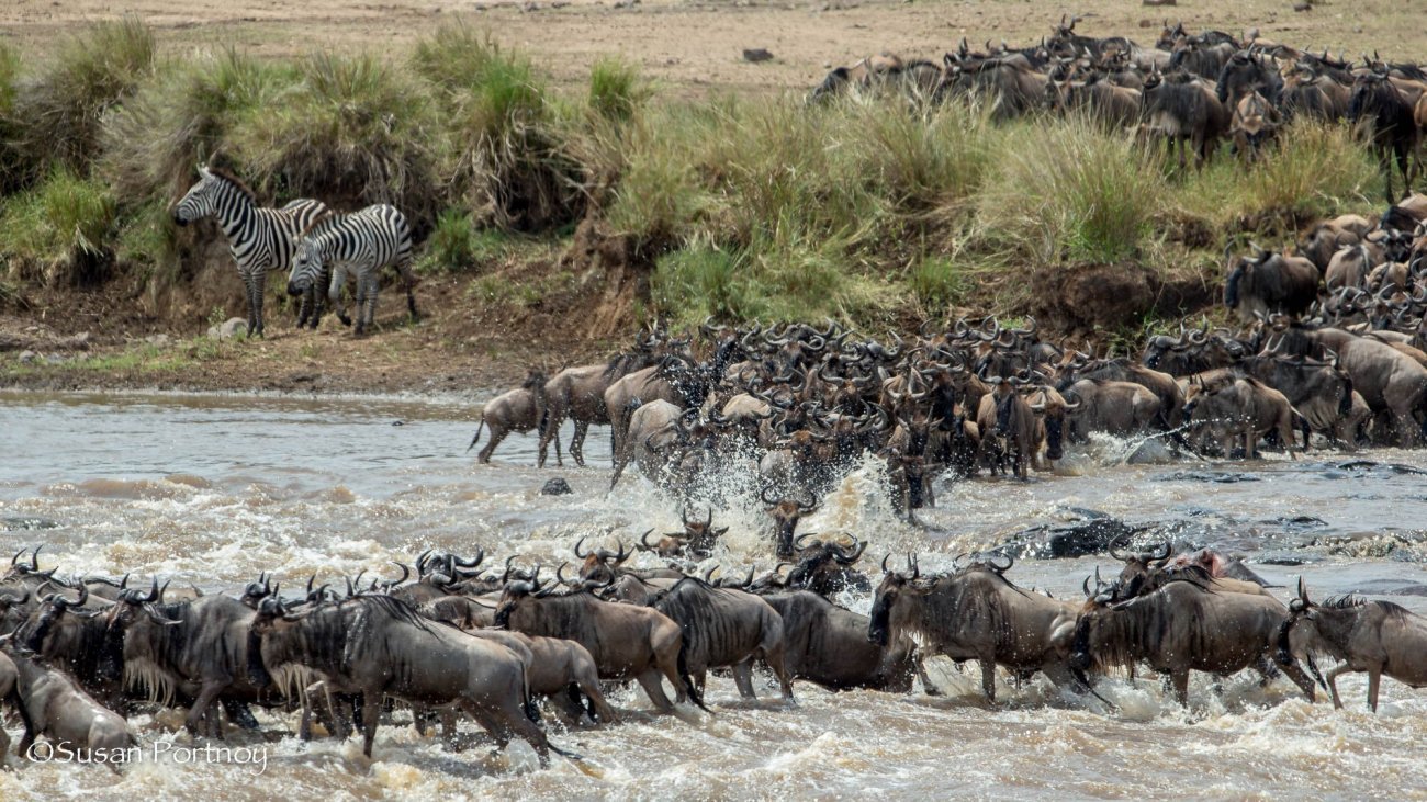 The carnage over, the wildebeest continue crossing -Wildebeest crossing in the Masai Mara, Kenya