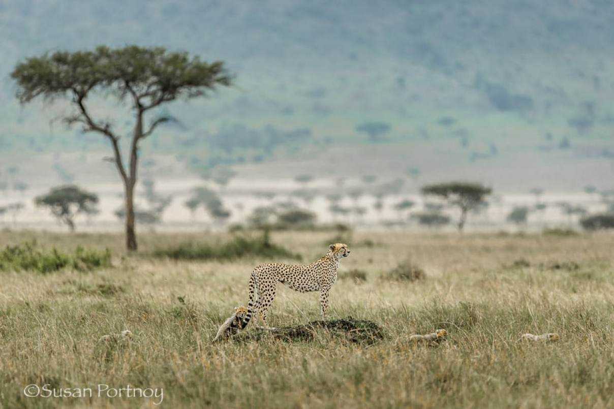 photographing-cheetah-and-cubs-in-the-masai-mara-288801