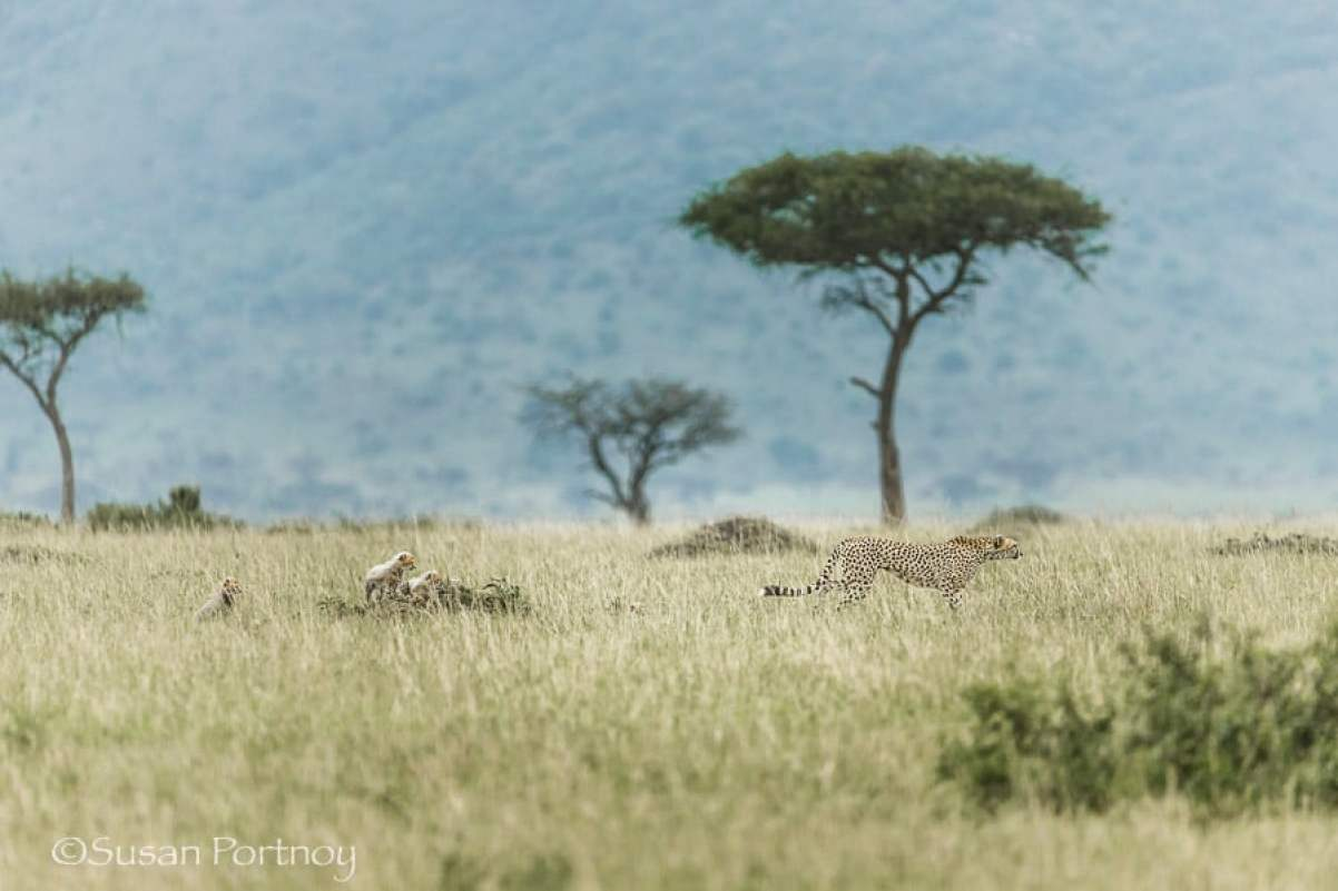 photographing-cheetah-and-cubs-in-the-masai-mara-300001