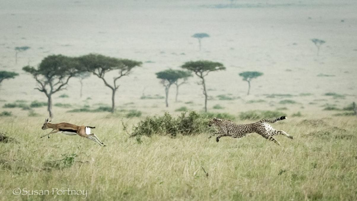 photographing-cheetah-and-cubs-in-the-masai-mara-306501