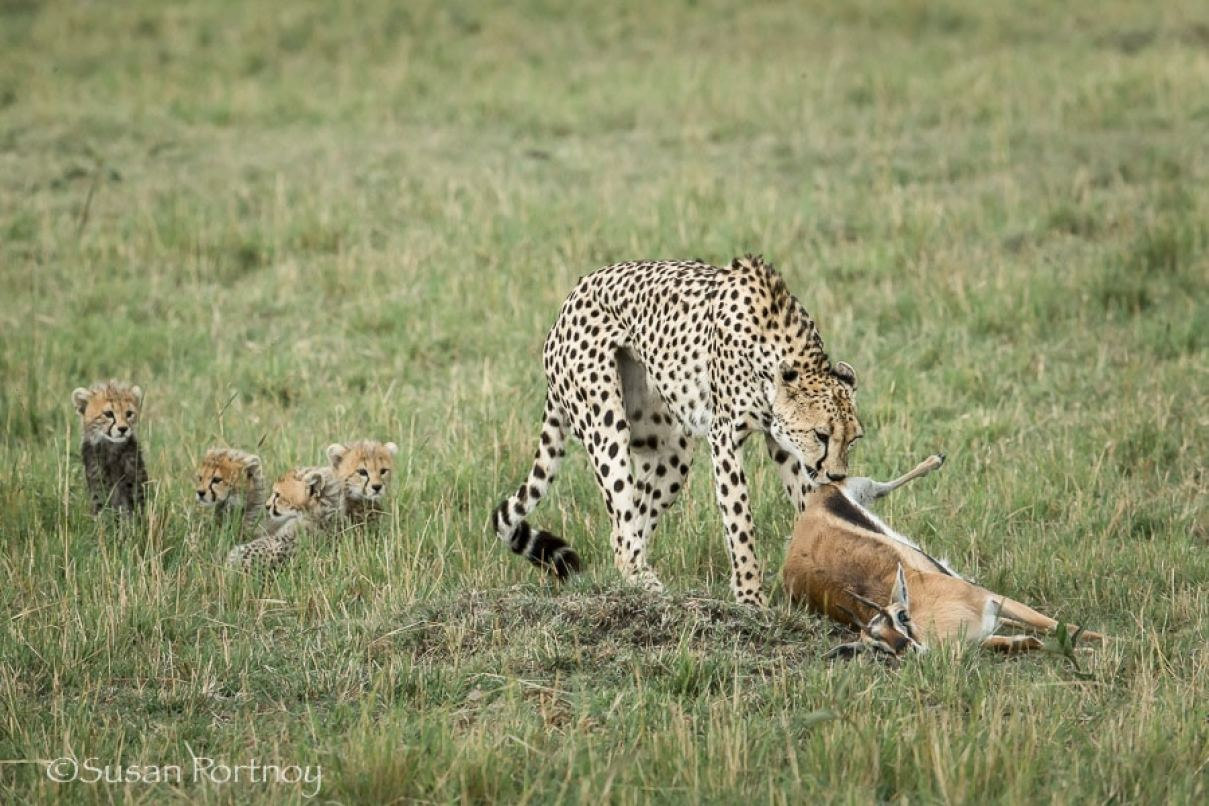 photographing-cheetah-and-cubs-in-the-masai-mara-322101