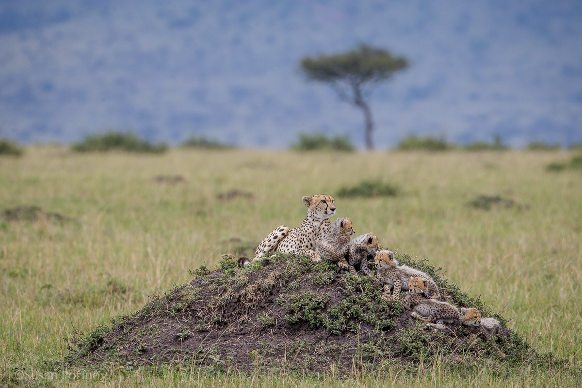 A cheetah mother and her cubs cuddle on a termite mound