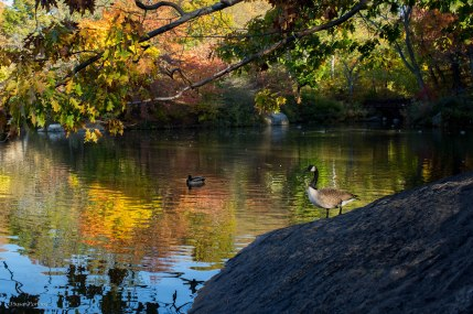 A large goose on the Lake in Central Park in NYC