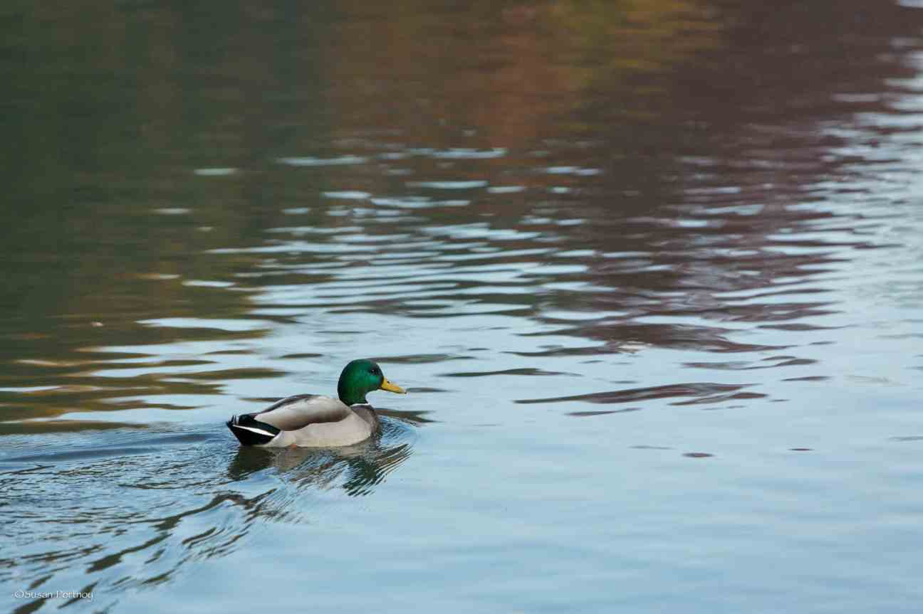A solo mallard finds himself without his flock