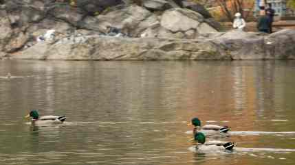 Mallards swim past the Hernshead on the Lake in Central Park, NYC